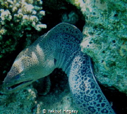 Giant moray-Ras mohmed-sharm el shaikh by Yakout Hegazy